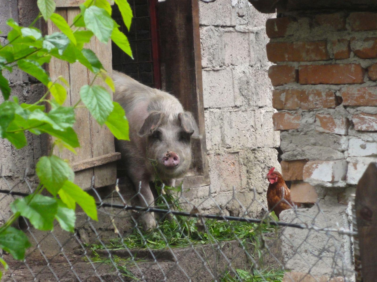 Arefu, Roumanie