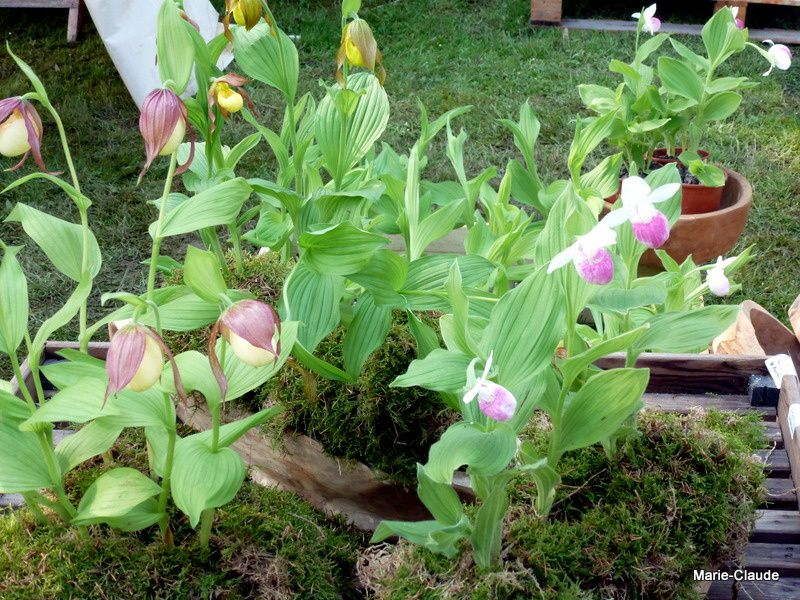 Un très beau stand d'orchidées qui supportent notre climat froid !
