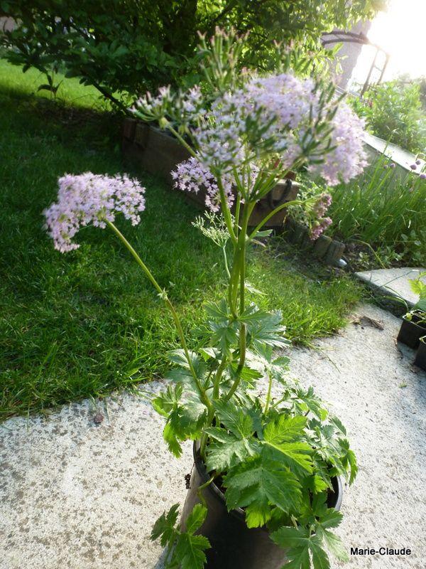 Chaerophyllum roseum, tout simplement du cerfeuil rose, déjà presque en graines !!!