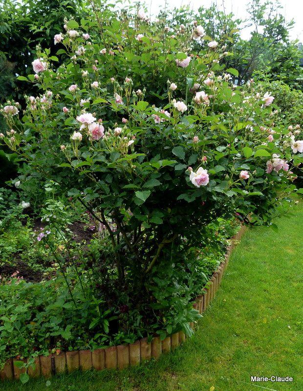 """'Félicia', mon rosier """"Chouchou"""" se tient bien, ses roses à peine écloses n'ont pas souffert...."""