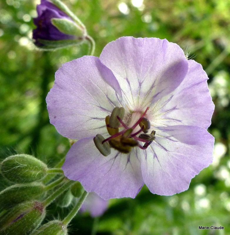 Geranium phaeum 'Blauwvoët' acheté l'an dernier en Belgique, une floraison plus claire que le type,