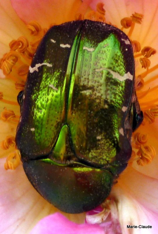 Après zoom, voici ce bel insecte, tout proche de vous, le reconnaissez- vous ???