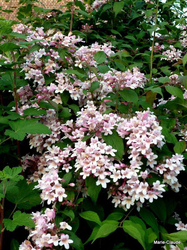 Fleur de Kolkwitzia amabilis 'Pink Cloud', un merveilleux arbuste qui fleurit en juin,