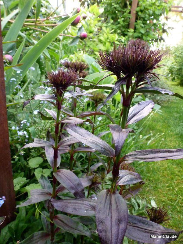 Dianthus barbatus 'Sooty' un oeillet des poètes , actuellement encore en boutons, à la floraison d'un  rouge très sombre.