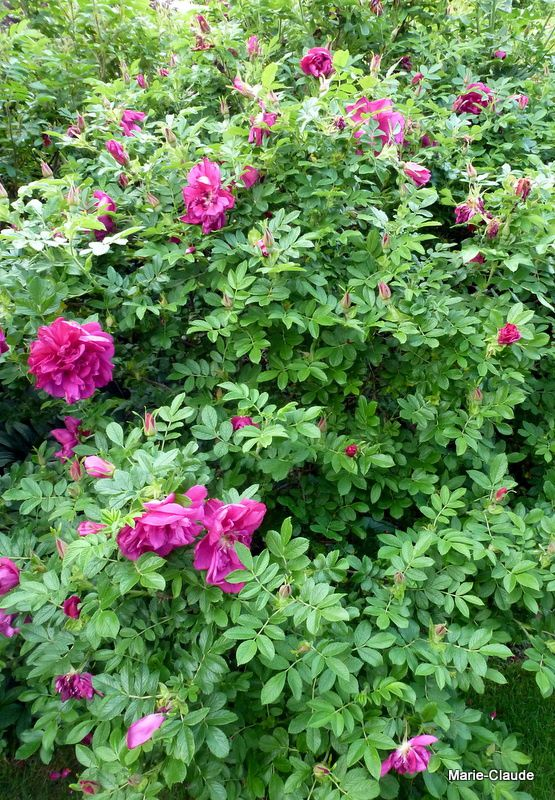 """""""Roseraie de l'Haÿ"""" parfumée à souhaits me plaît aussi..."""