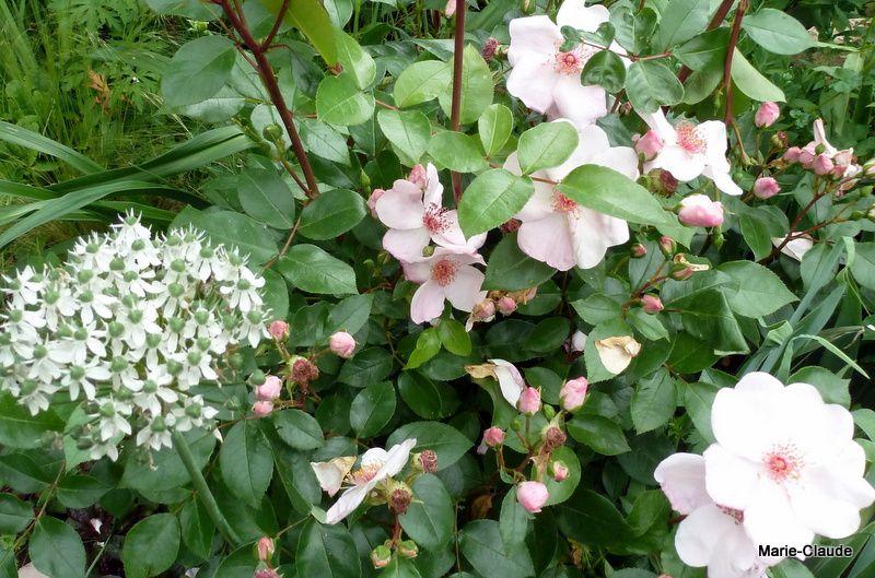 Rosa 'Astronomia' et tête fleurie d'Allium Nigrum,