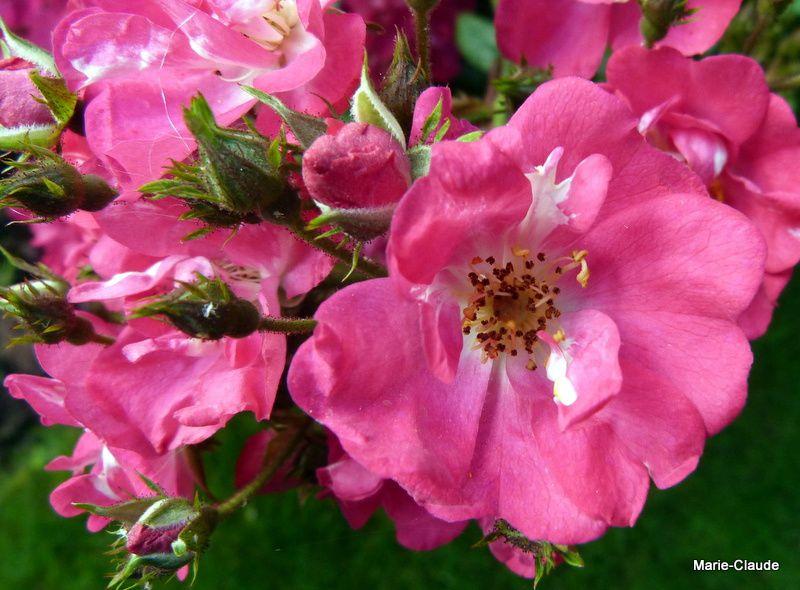 Zoom sur un bouquet de ses roses miniatures,