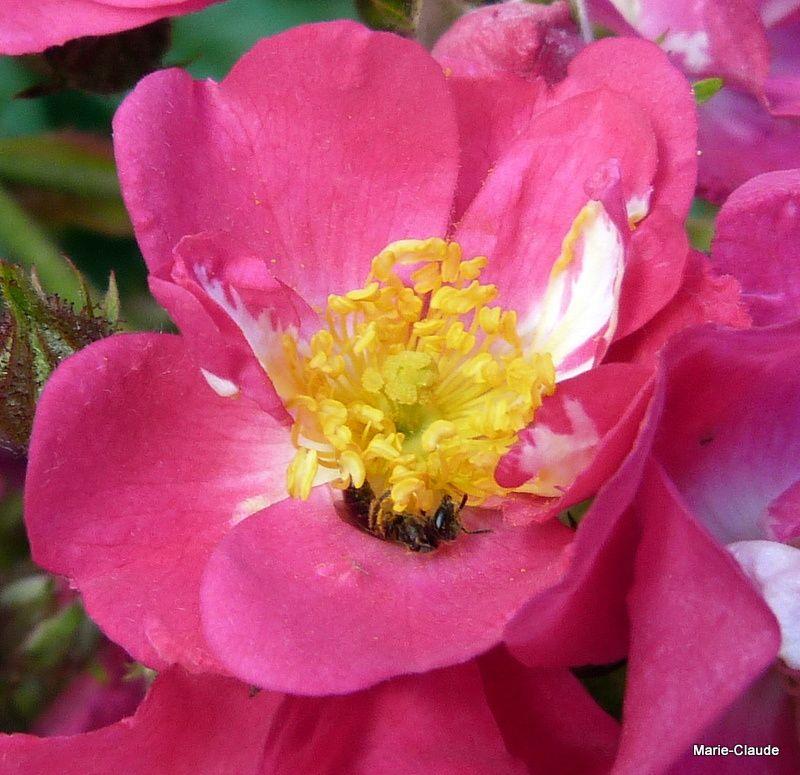 A l'épanouissement un bouquet de belles étamines jaunes, dont ce visiteur se régale ...