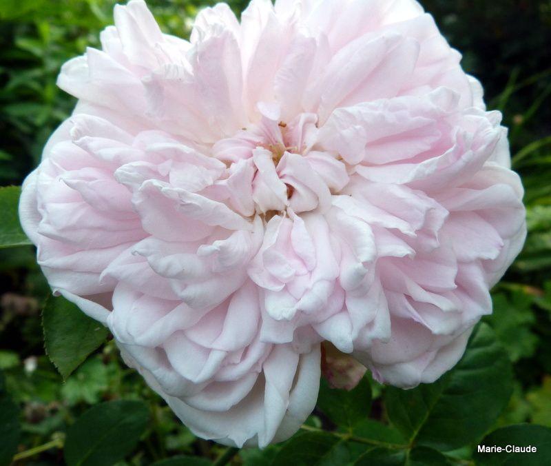 'Eglantyne', la rose de David Austin , fait aussi partie de cette catégorie,