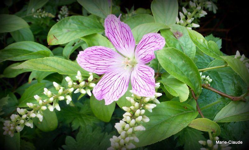 Union de l'Itea virginica et d'un Geranium vivace dont j'ai zappé le nom...