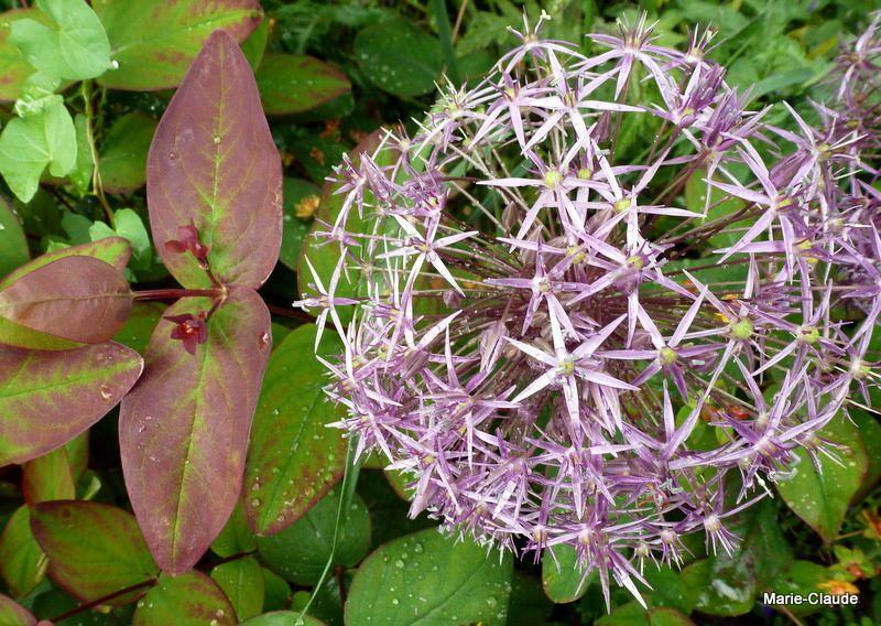 Union de la boule et de la feuille :Allium 'Karataviense' et feuille de l'hypericum androsaemum 'Albury Purple' , un rescapé de l'hiver dernier, recepé, il a finalement décidé de redémarrer !