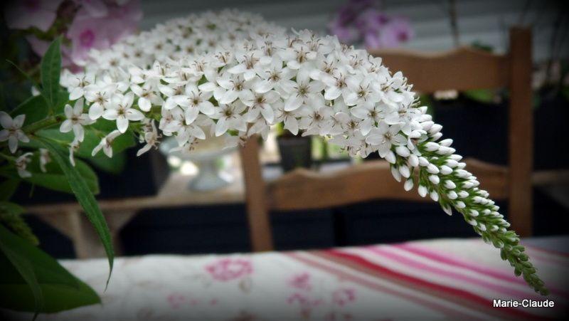 Une vivace amusante, la Lysimachia Clethroïdes, aux fleurs blanches en grappes curieusement coudées, elle aime notre sol frais et la mi-ombre.