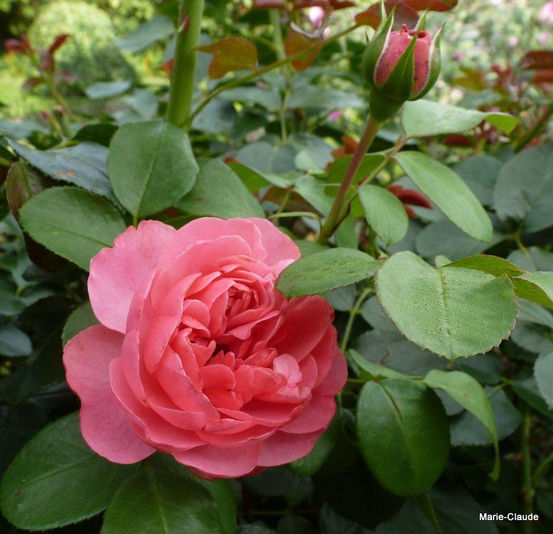"""Le charmant """"Léonard de Vinci"""" toujours prêt à fleurir lui aussi !"""