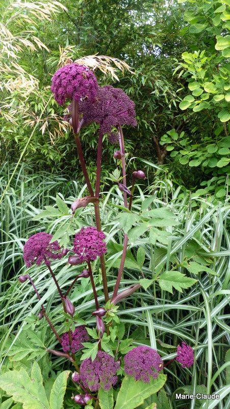 Angelica gigas purpurea