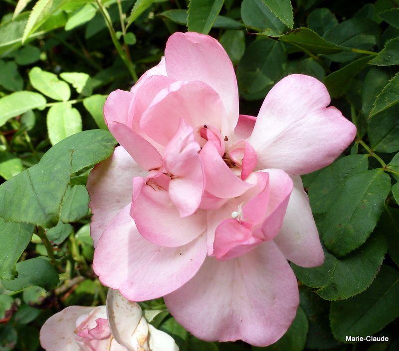 """Rosa"""" Centenaire de Lourdes,"""" à la tendre couleur rose,"""