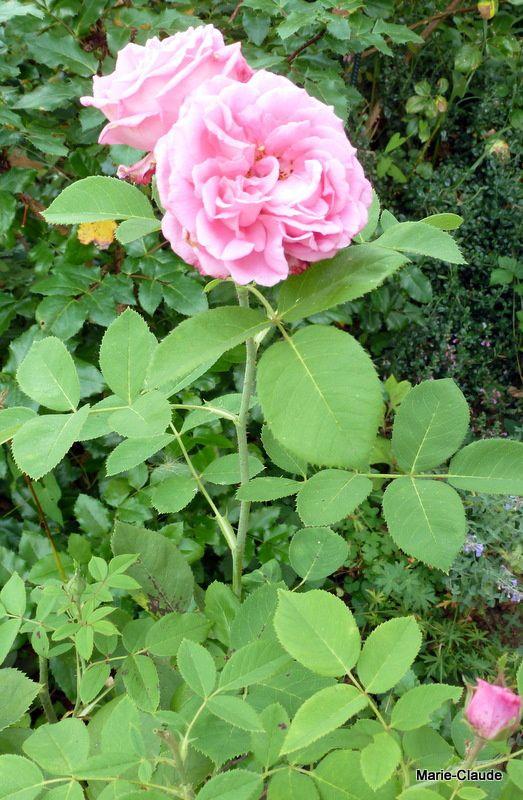 """Rosier """"Mrs John Laing"""", un rosier qui démarre seulement après deux ans de souffrance..."""
