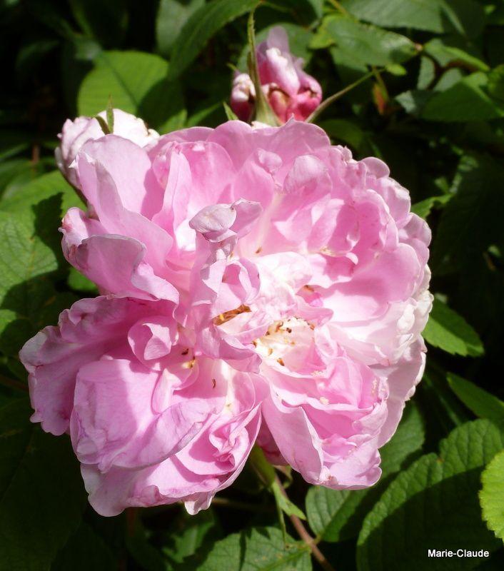 """La petite remontée régulière de """"Thérèse Bugnet"""", mon grand arbuste,"""
