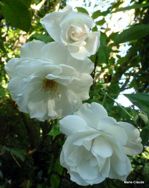 En 4, le rosier 'Fée des neiges' , qui supporte la mi-ombre, une très belle création  de Kordes, le rosiériste allemand,