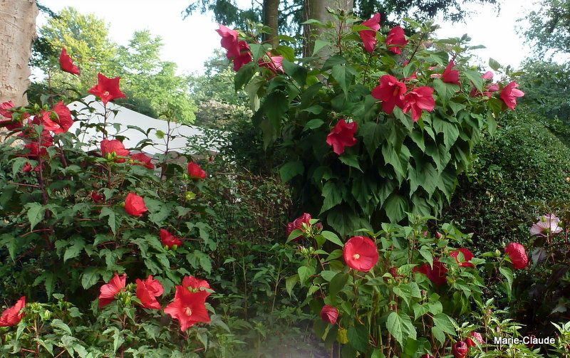 Des Hibiscus des marais aux floraisons vives, résisteraient-ils à notre climat ???