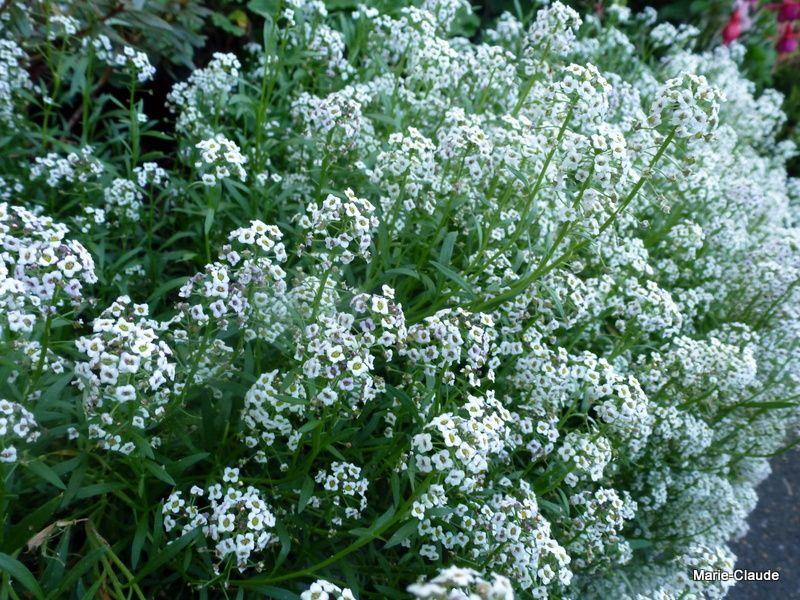 En 2, un coussin de fleurs blanches, parfumées, le Lobularia maritima 'Carpet of snow', une annuelle qui se débrouille toute seule pour se ressemer, un bonheur de paresseuse !