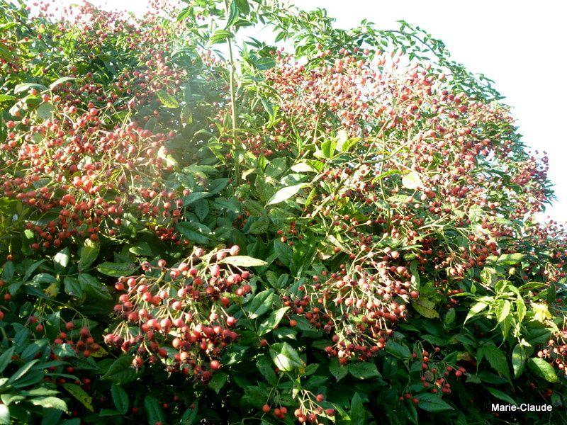 Le rosier 'Pleine de Grâce' qui ne refleurit pas, nous offre la splendeur de ses fruits orangés,
