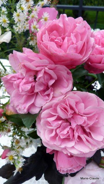 'Léonard de Vinci ' des roses qui détiennent à mon humble avis, un record de longévité, leur seul défaut, l'absence de parfum !