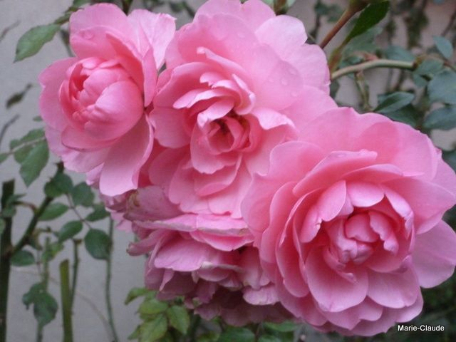 La splendeur des roses'Bonica',