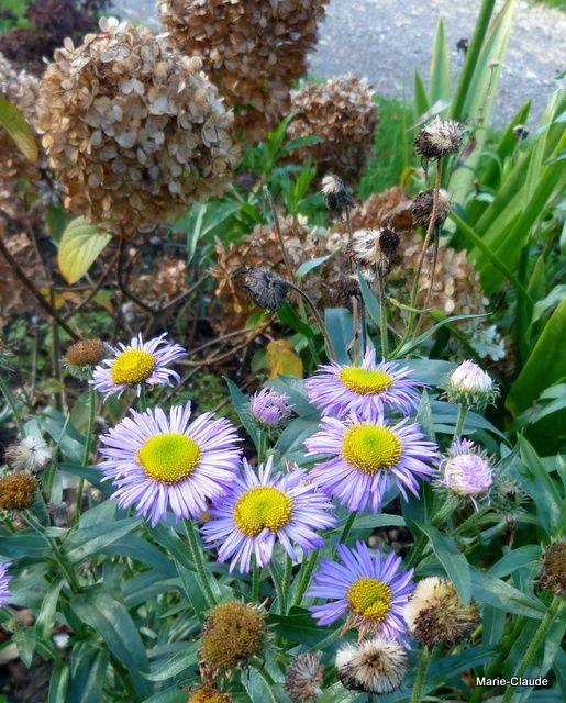 Etonnant aussi ces Erigerons qui fleurissent si tard en saison ...