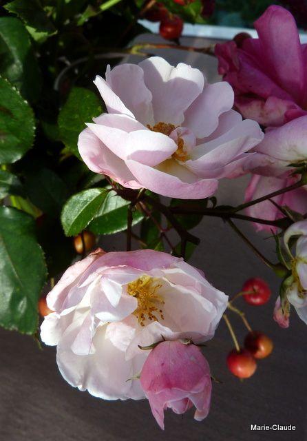 Un rosier dont j'ai oublié le nom, il faudra que je retourne le chercher au jardin, très florifère et résistant,