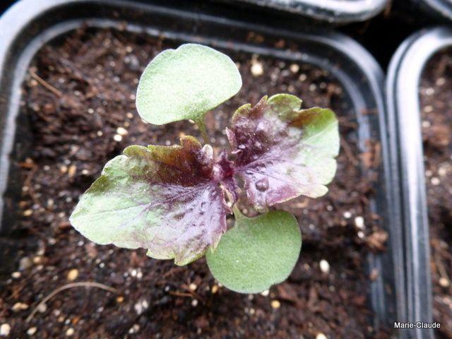 Ce semis de Perillas qui a fait de magnifiques plantes pourpres tout l'été, j'ai adoré...malheureusement, je n'ai pas réussi à obtenir des graines, j'espère que Zoraly du jardin des Lutins pourra encore m'en envoyer...