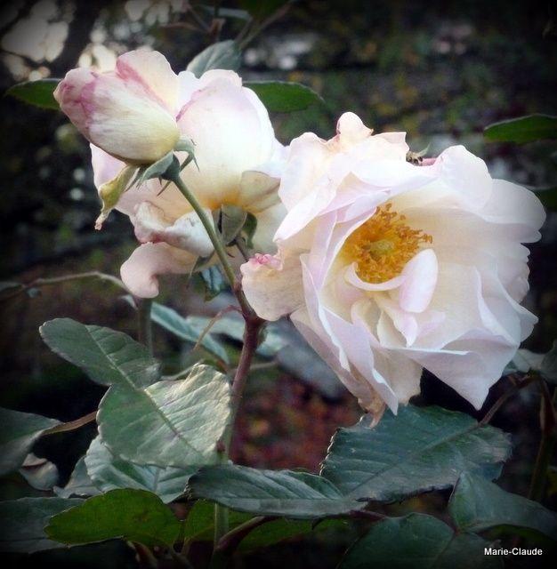 C'est avec la douce 'Pénélope', l'un des rosiers, les plus florifères du jardin que je vais vous laisser et vous souhaiter une douce nuit !