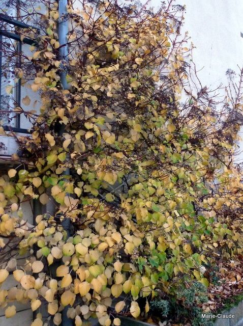 De l'Hydrangea petiolaris,