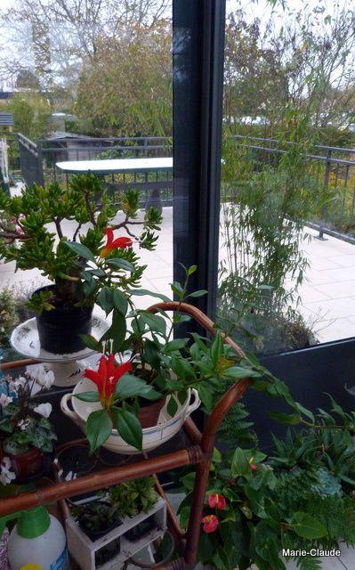 Le bambou fargesia en pot, reste lui à l'extérieur,