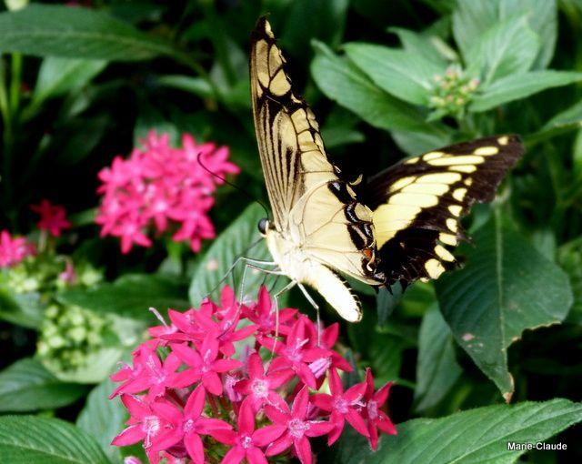 Papillons exotiques,