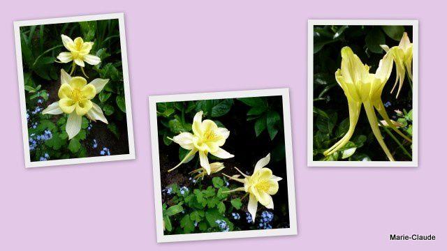 Ces aquilegias 'Yellow queen', m'ont été envoyées sous forme de graines par Ausra, lors du premier SOL, en janvier 2012  et ils ont fleuri en juin 2013 !