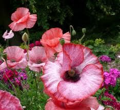 Papaver Mother of Pearl d'Anne