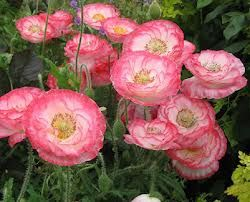 Papaver Falling in Love de Chantal