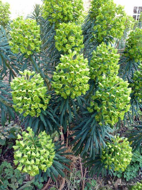 Des Euphorbes characias aux fleurs vert anis,