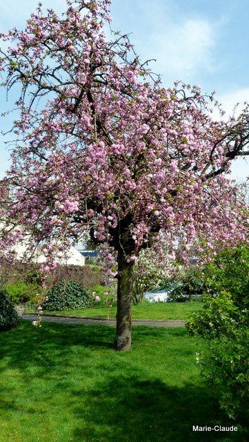 Le cerisier pleureur n'offre pas de fruits mais sa floraison est si belle ...