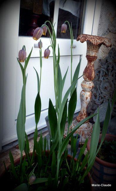 Des oeufs de vanneaux comme je n'en avais jamais vu ! D'après mon livre, ce serait des Fritillaria pyrenaica