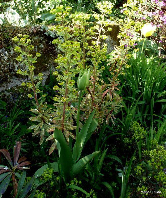 Une petite Euphorbe Characias variegata,