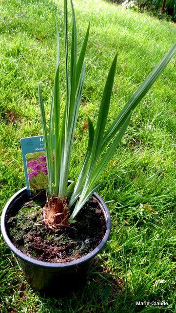 Un bel Iris ensata que je cherchais depuis un moment, très bien pour ma terre humide,