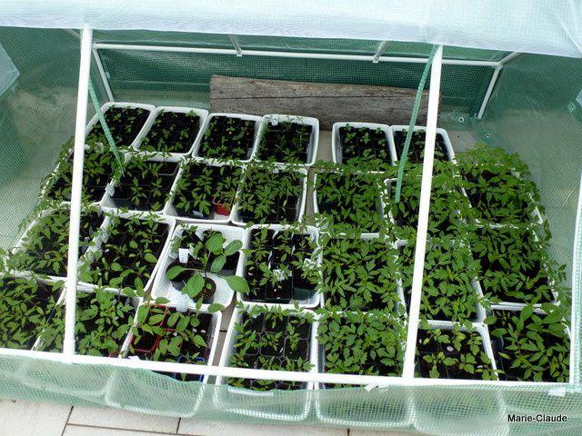 Voici la serre aux tomates, peu de place laissée à mes fleurs...