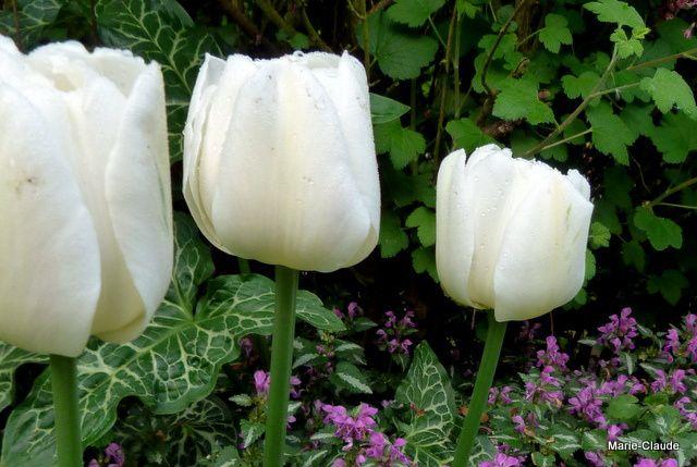 Tulipes après la pluie,