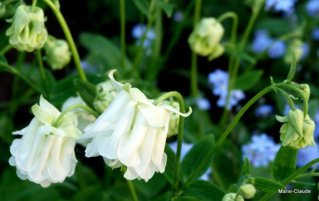 Ancolies et myosotis, un mariage heureux, indispensable au jardin en cette période,