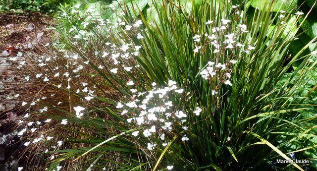 Des Libertias, de jolies fleurs blanches posées comme des papillons sur les tiges de cette plante vivace persistante,