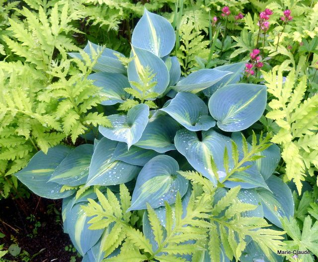 Encore un contraste que j'aimerais reproduire : Ce Hosta à feuilles bleutées, dont la couleur de la ligne centrale se retrouve sur la fougère qui l'entoure,