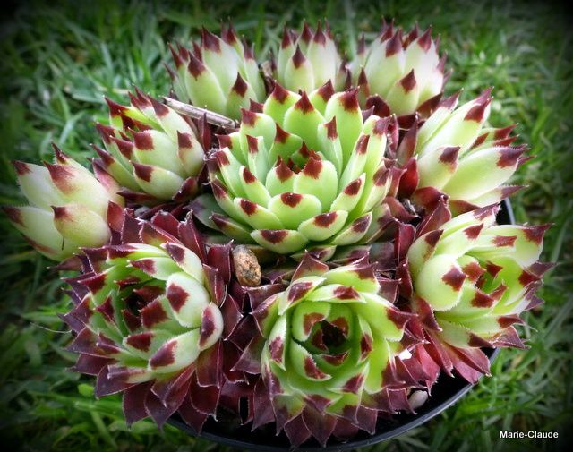 Sempervivum Mr Giusseppi,
