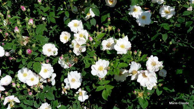 'Hebe's Lip' un rosier de Damas, aux fleurs blanches demi-doubles ourlées de rouge,