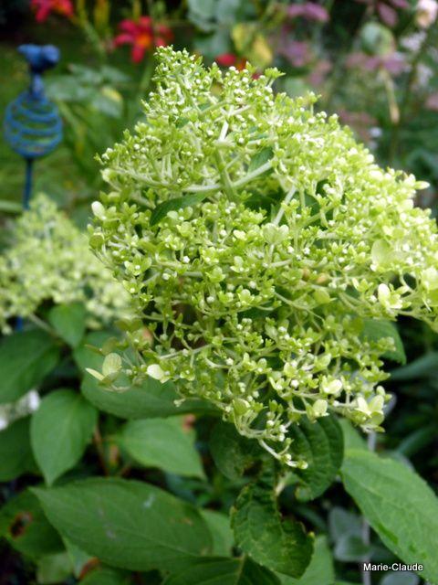 Hydrangea paniculata 'Limelight' qui consent enfin cette année à pousser, j'en suis bien aise !!!